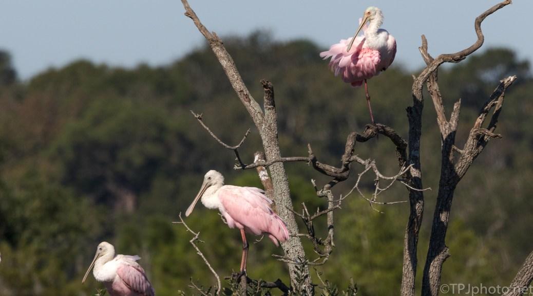 Marsh Tree, Spoonbills - click to enlarge