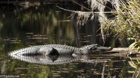 Sunny Spot, Alligator - click to enlarge