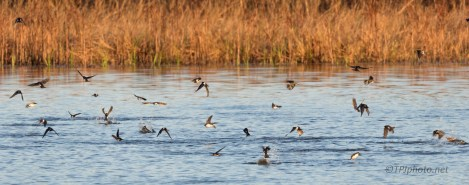 Swallows, Hundreds Feeding On The Marsh - click to enlarge