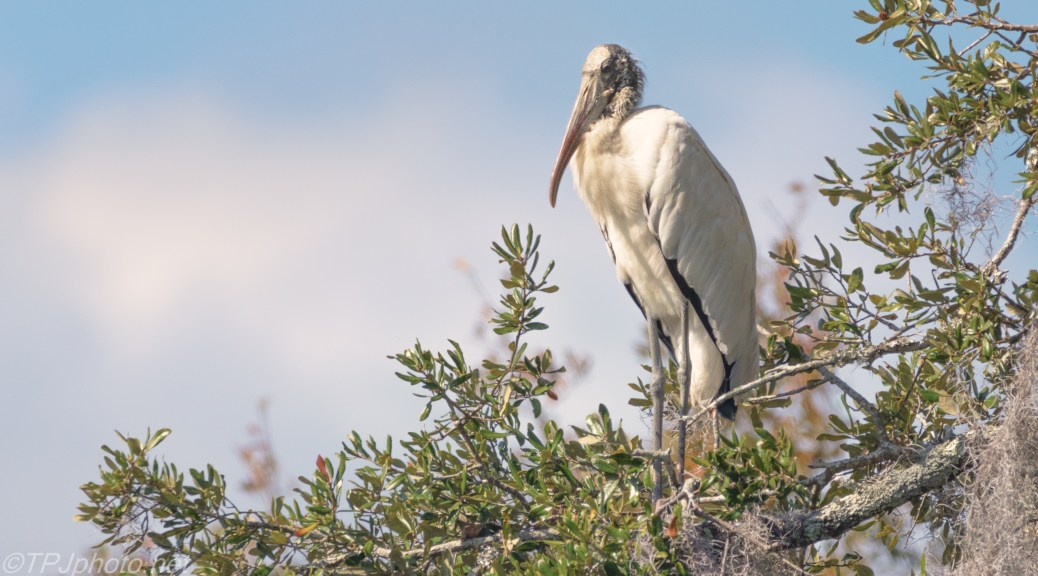 Wood Stork Warming In The Sun - click to enlarge