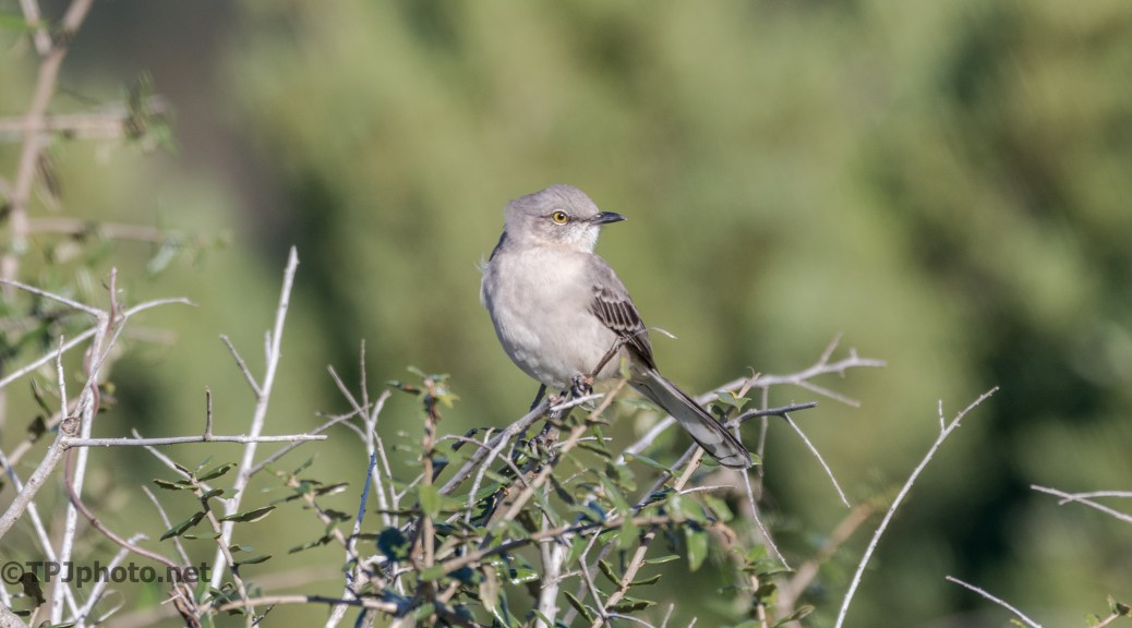 Northern Mockingbird - click to enlarge