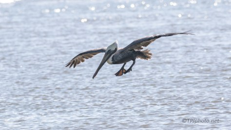 Pelican Fishing A Little Close - click to enlarge