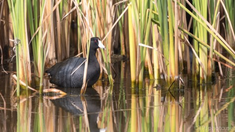 Hiding In Reeds, American Coot - click to enlarge