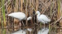 Ibis And Snowy Egret -click to enlarge