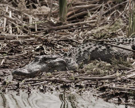 Getting The Sun, Alligators - click to enlarge