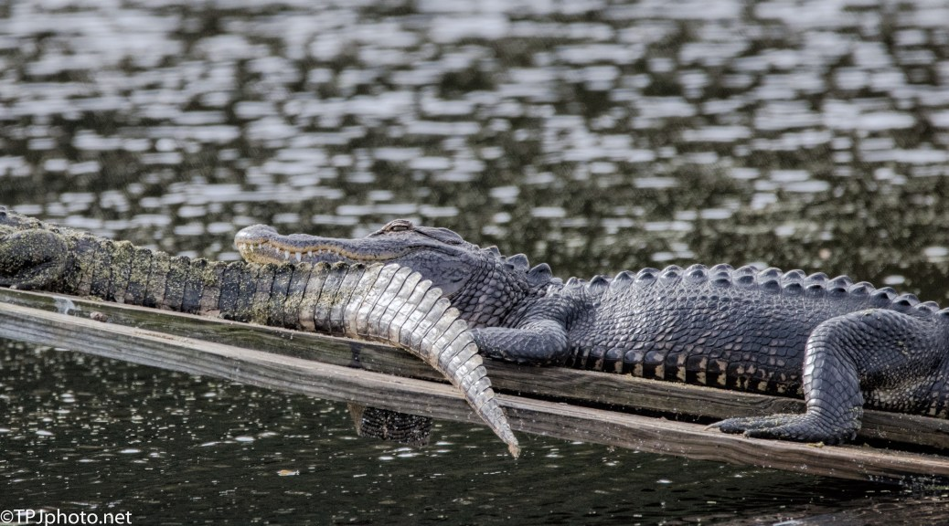 Strange Looking Pillow, Alligator - click to enlarge