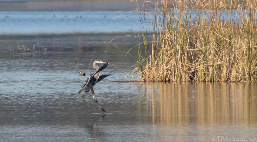 Gymnast, Perfect Landing, Great Blue - click to enlarge