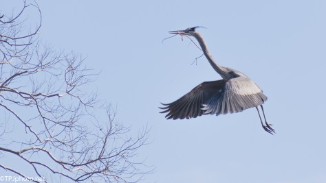 Great Blue Landing With Style - click to enlarge
