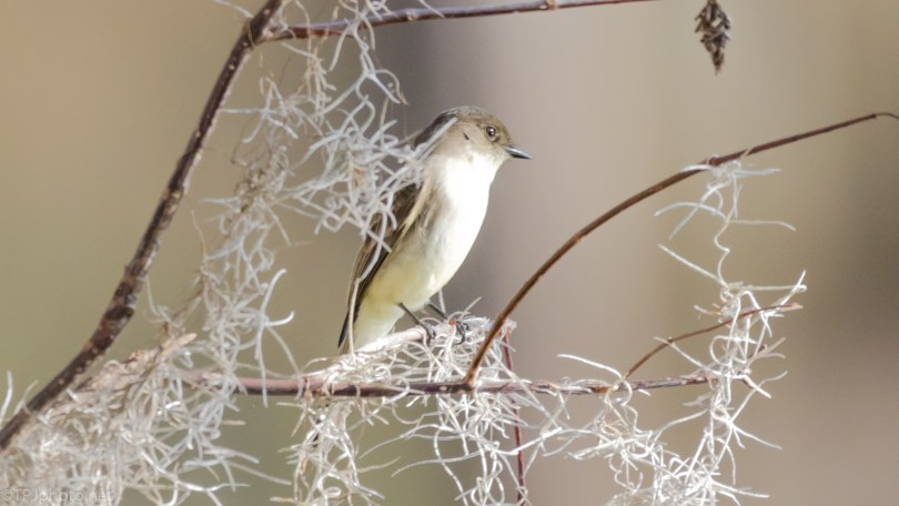 Eastern Phoebe - click to enlarge