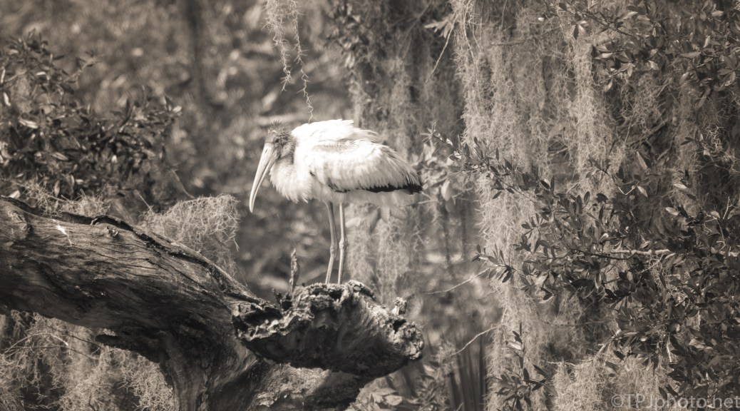 Wood Stork, Black And White - click to enlarge