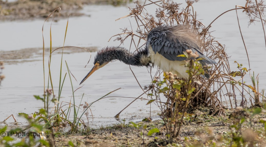 Tricolored Heron Getting All Puffy - click to enlarge