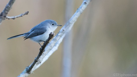 Blue-gray Gnatcatcher (3) - click to enlarge
