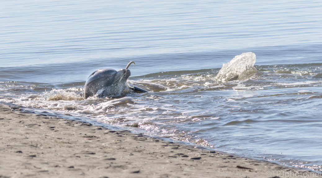 Dolphin, Catch And Roll - click to enlarge