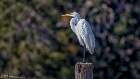 Regal Looking Great Egret - click to enlarge