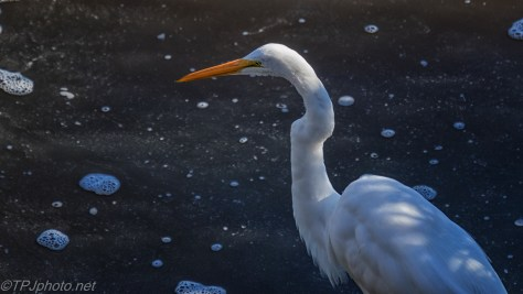 Egret, Hunting By An Open Dike - click to enlarge