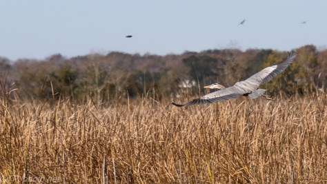 Great Blue Along The Reeds - click to enlarge
