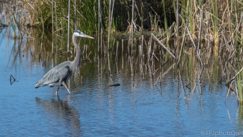 Herons In A Marsh - click to enlarge