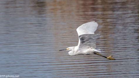 Snowy Egret Low Over A Marsh - click to enlarge