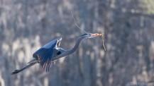 Great Blue Heron Close Landing - click to enlarge