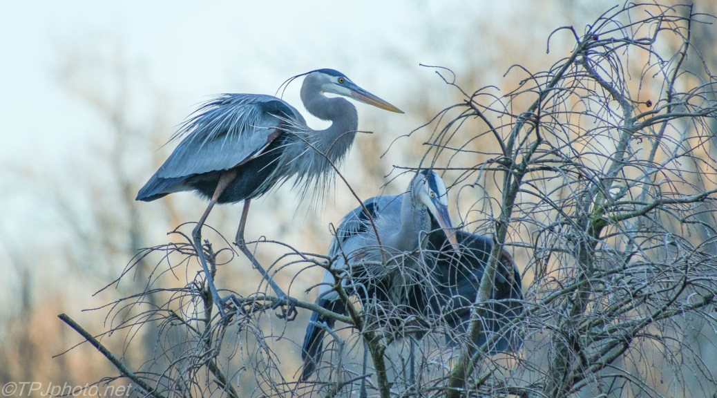 Great Blue Herons, Start Of Nesting - click to enlarge