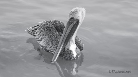 Black And White Pelican - click to enlarge