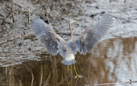 Perfect Landing Give Him A 10, Tricolored Heron - click to enlarge