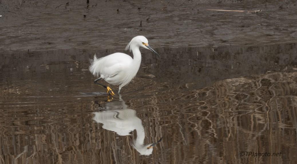 Snowy Egret Attitude - click to enlarge