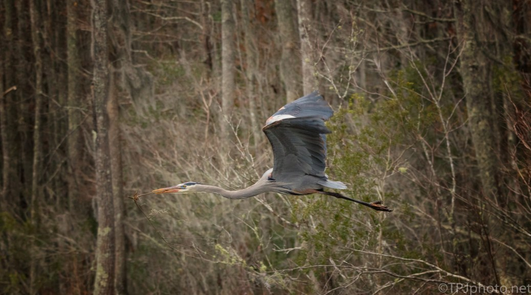 Great Blue Heron Returning To The Nest - click to enlarge