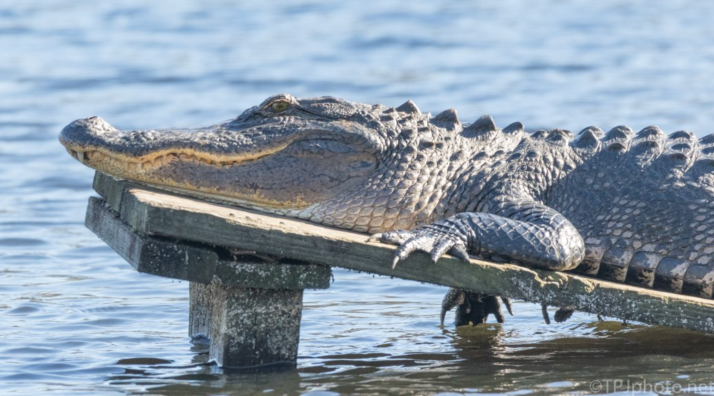 Uh Oh, He's Awake, Alligator - click to enlarge