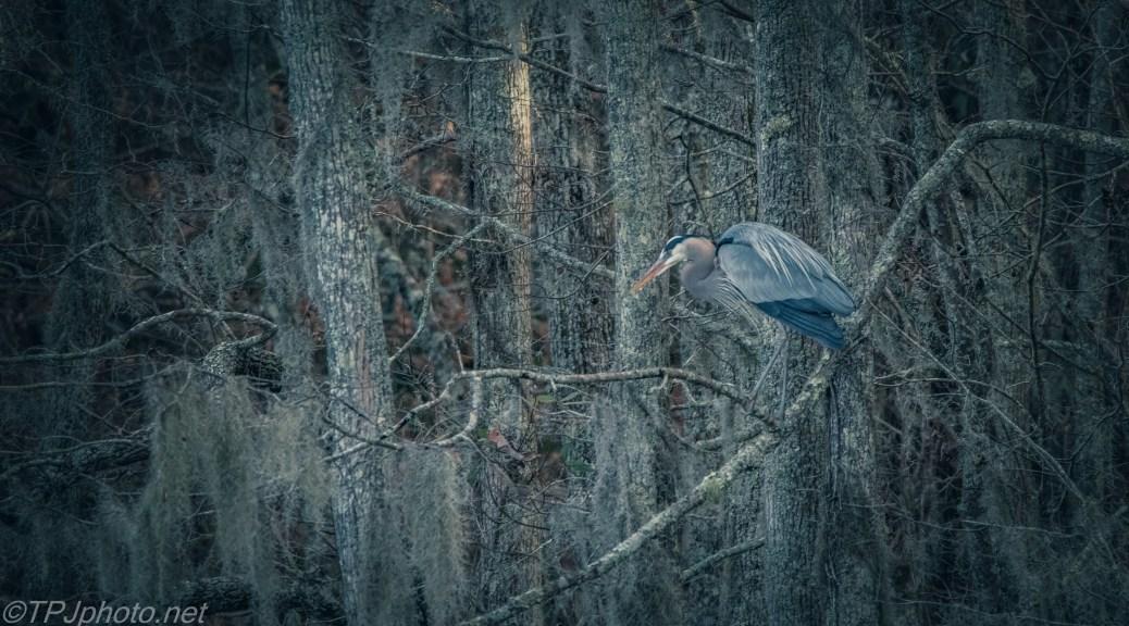 Hidden Great Blue Heron - click to enlarge