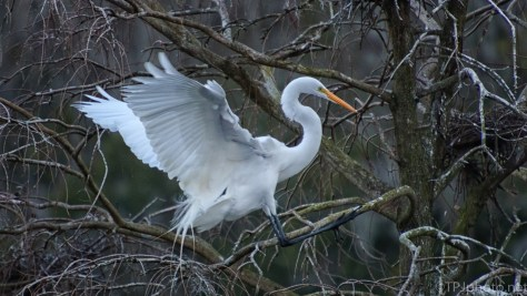 Great Egret Landing In A Cypress - click to enlarge