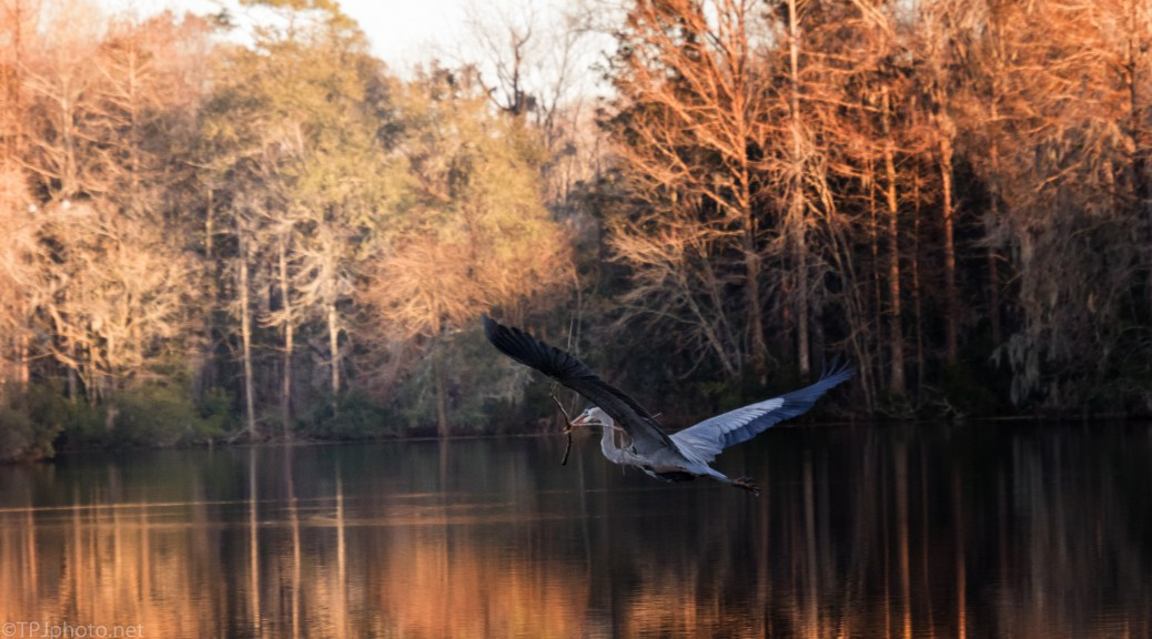 Heron With Golden Light - click to enlarge
