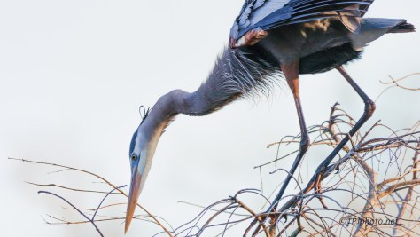 Great Blue, Close - click to enlarge