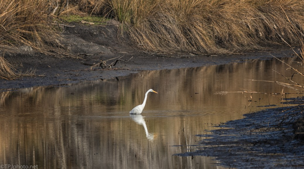 Great Egret On A Hunt - click to enlarge