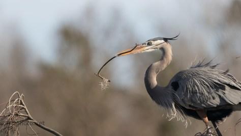Wind Swept, Heron - click to enlarge