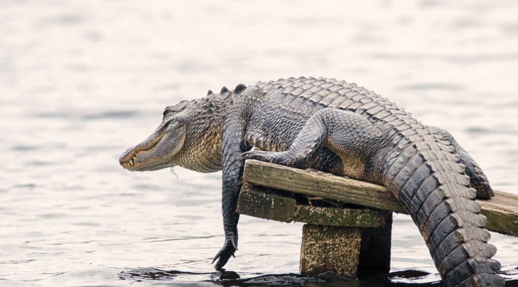 Alligator Antics - click to enlarge