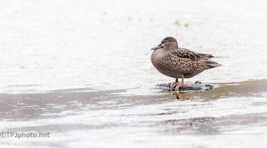 Blue-winged Teal, Off On Her Own - click to enlarge
