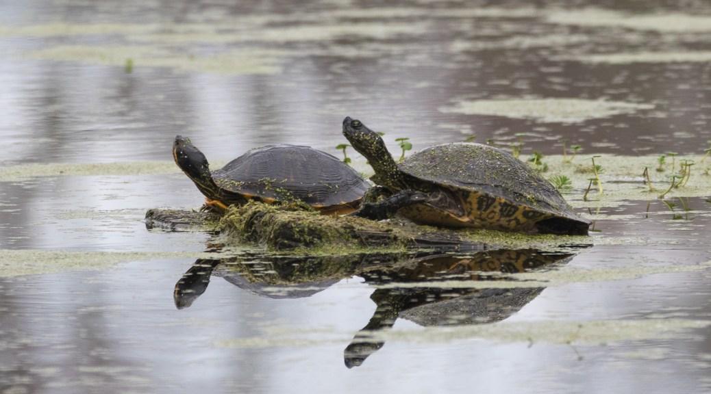 Sliders, Turtles - click to enlarge