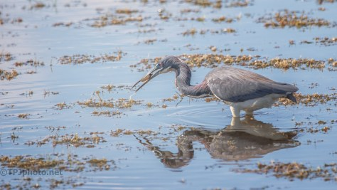 Catching Fish, Tricolored Heron - click to enlarge