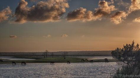 Cows, Marsh, Sunset - click to enlarge