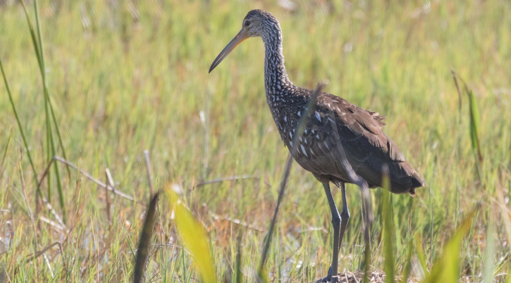 Limpkin - click to enlarge
