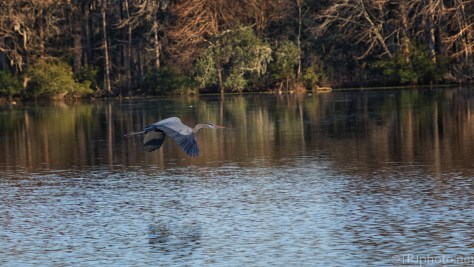 A Nice, Slow Fly By, Great Blue Heron - click to enlarge