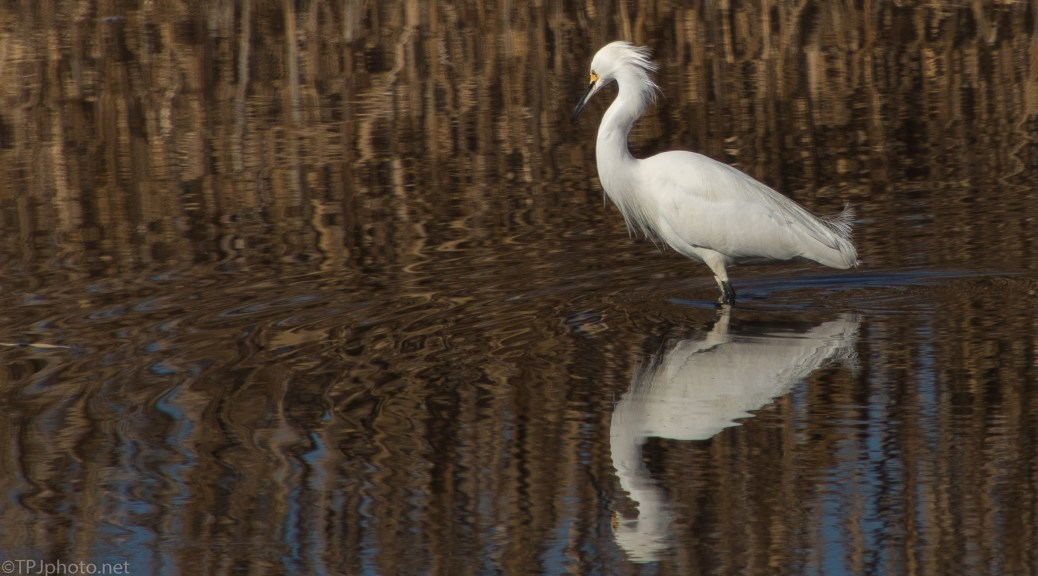 Snowy Egret Reflections - click to enlarge