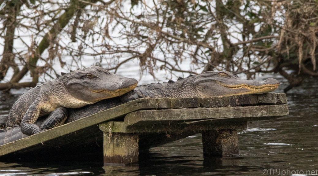 Yes, Alligators Do Spoon - click to enlarge