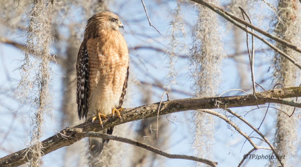 Getting The Last Sun, Red-shouldered Hawk - click to enlarge