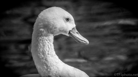 The Coscoroba Swan - click to enlarge