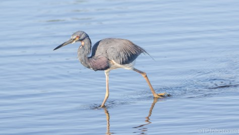 Tricolored Heron On A Mission - click to enlarge
