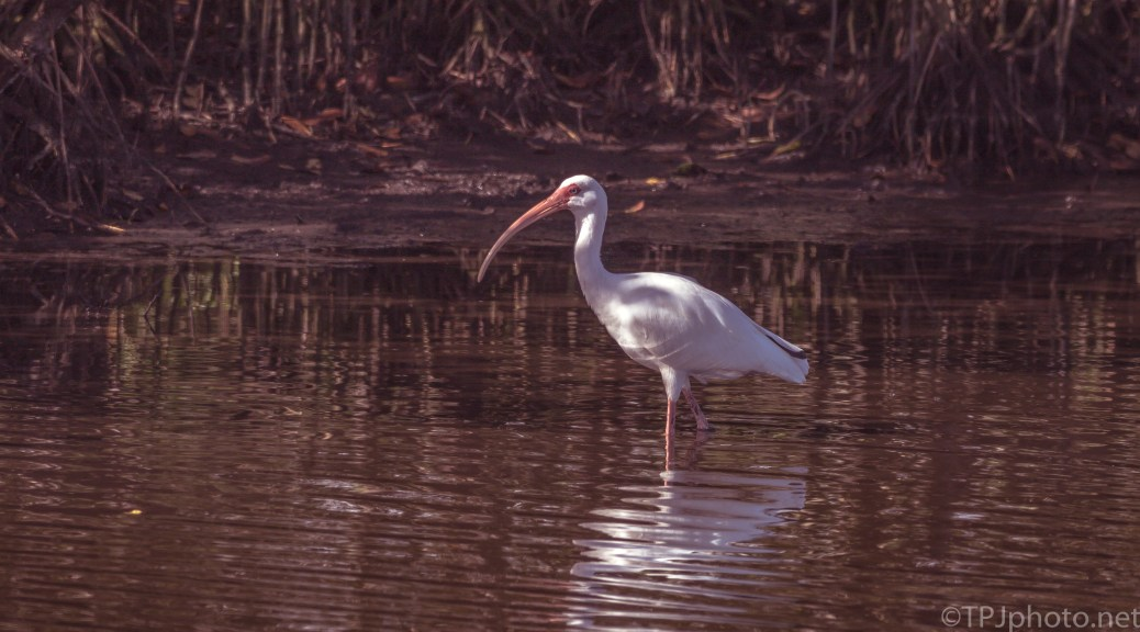 White Ibis, In The Mangroves - click to enlarge