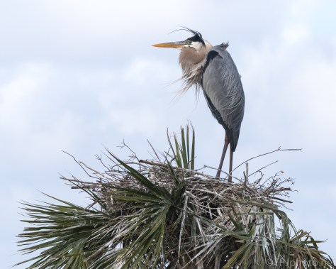 Blue Sky, Blue Heron - click to enlarge