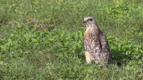 Red-shouldered Hawk, Snake Got Away - click to enlarge